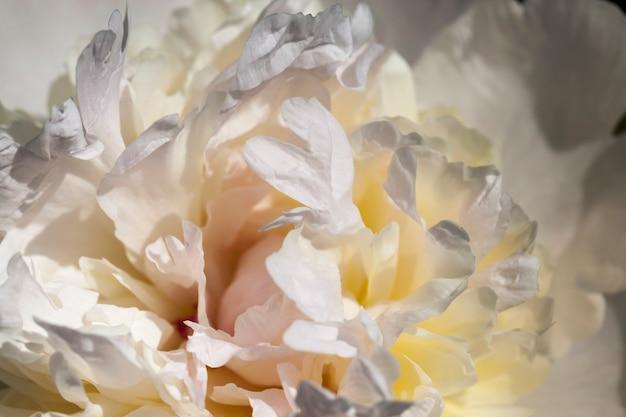 Цветущие летом белые пионы, цветущие растения для украшения территории