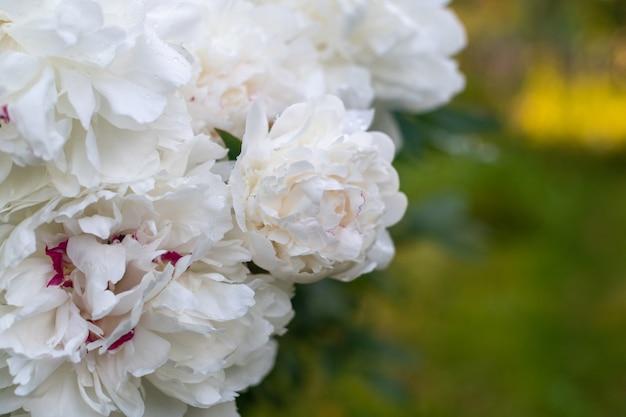 庭の白い牡丹。