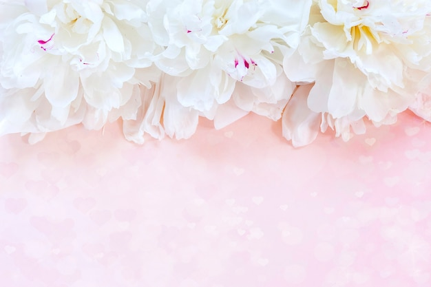 ピンクの背景に白い牡丹。バレンタインデー、結婚式、婚約のコンセプト