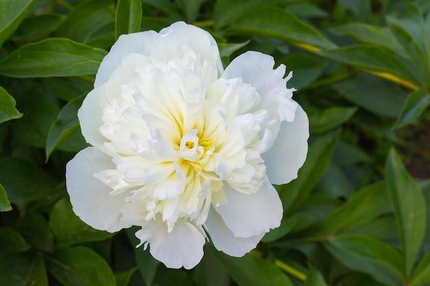 緑の葉の間の白い牡丹。夏の花