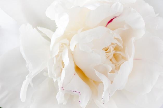 Белый пион цветок макрос