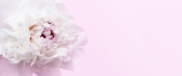 Белый пион цветок на розовом фоне с копией пространства летние цветущие нежные лепестки пиона праздничного