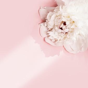 Белый пион цветок на розовом фоне с копией пространства