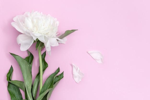 분홍색 종이에 흰 모란 꽃