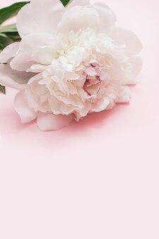 핑크에 흰 모란 꽃 여름 꽃이 만발한 섬세한 모란