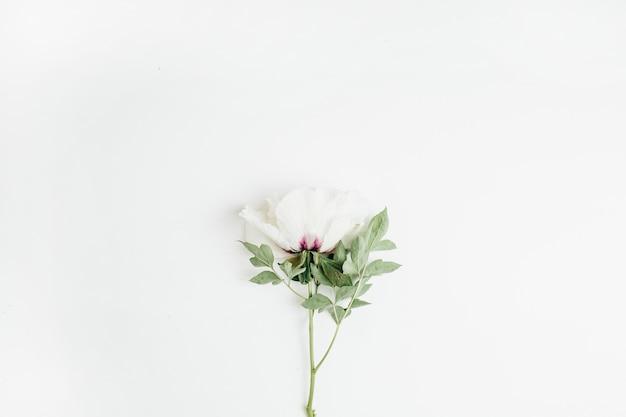 Белый пион цветок на белой поверхности