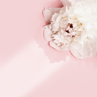 White peony flower on pink background with copy space