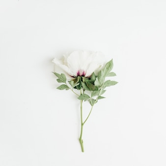 White peony flower on white background. flat lay, top view