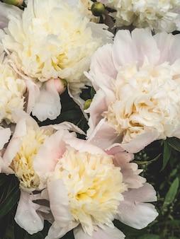 白い牡丹の花の背景。植物学の背景。上面図