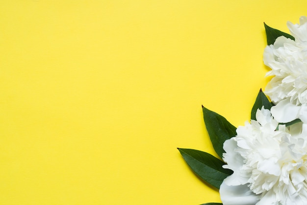 White peony flowers on a yellow bright background. copy space