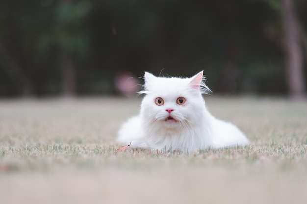 White persian cat on grass look excited in the park