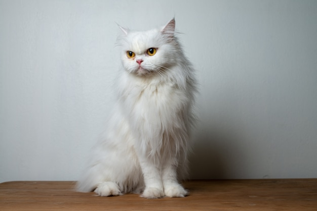 White persian cat portrait in studio. cute persian cat portrait.