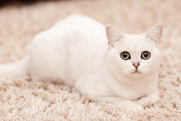 White persian cat with blue eyes lying on fur white carpet at home