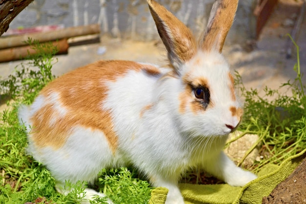 White pet rabbit with red spots and funny ears