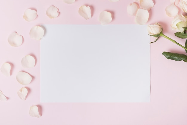 White petals of rose on blank paper against pink backdrop