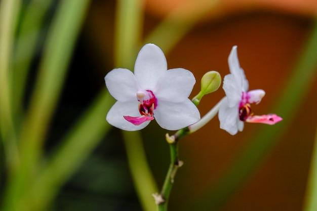Белый цветок орхидеи фаленопсис