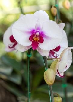 White phalaenopsis orchid flower
