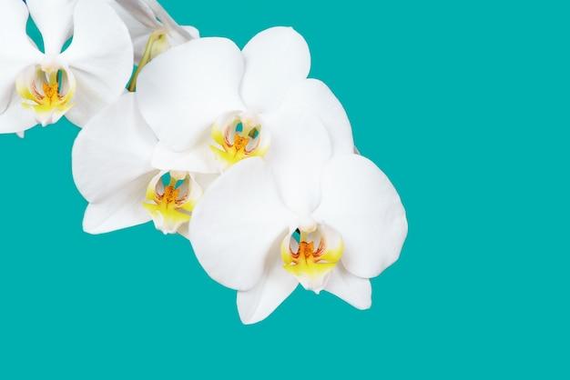 Белая орхидея фаленопсис, изолированные на бирюзовом фоне