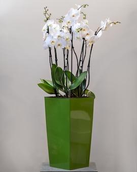 녹색 냄비에 흰색 phalaenopsist 나 방 난초