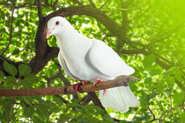 Белый голубь на ветке дерева