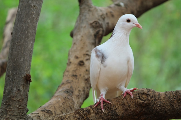 White pigeon on beautiful green tree background - imperial pigeon