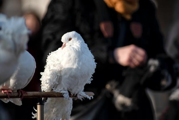 ブダペストの通りの白い鳩のクローズアップ。ハンガリー