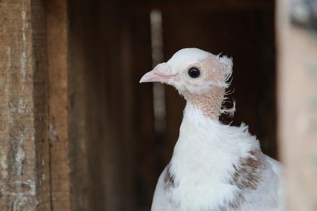 Белый голубь на фоне прекрасного зеленого дерева - имперский голубь