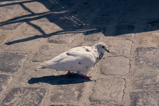 White pigeon on the street in the rays of the sun.