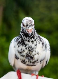 몸에 검은 표시가 있는 흰색 비둘기는 선택적 초점으로 얼굴을 닫습니다.