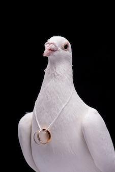 Белый голубь с обручальными кольцами на шее, изолированной в черной стене.