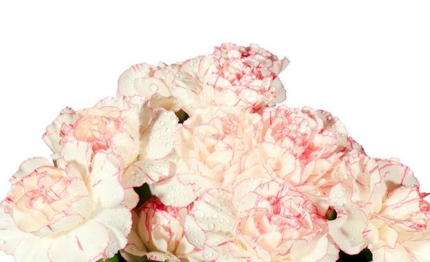 白ピンクのカーネーション(dianthus)は、白い背景に分離された露の滴とブーケの部分を開花します。かなりのシャープネスのある合成写真。