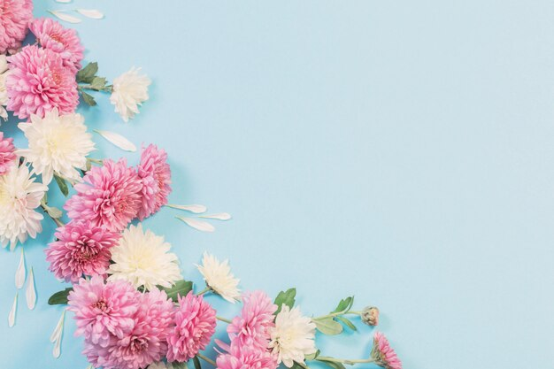White and pink chrysanthemums on blue paper background