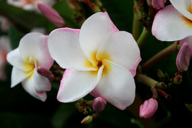 White and pink frangipani flowers