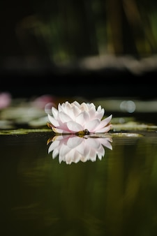 White and pink lotus flower on water
