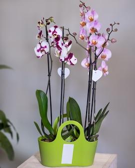 緑の鍋に白、ピンクの胡蝶蘭、蛾の蘭の花