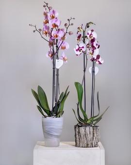 鍋に白、ピンクの胡蝶蘭、蛾の蘭の花
