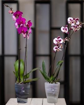 흰색, 분홍색 호 접, 냄비에 나방 난초 꽃