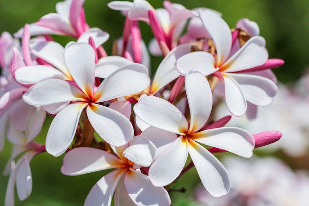 White , pink and yellow plumeria spp.