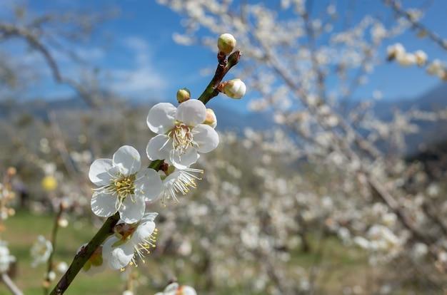 Цветение белой сливы под голубым небом в зимний день в наньтоу, тайвань