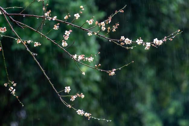 Цветет белая слива на зеленом фоне под дождем