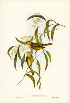 White-plumed honey-eater (ptilotis penicillatus) illustrated by elizabeth gould