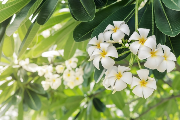White plumeria blooming of nature