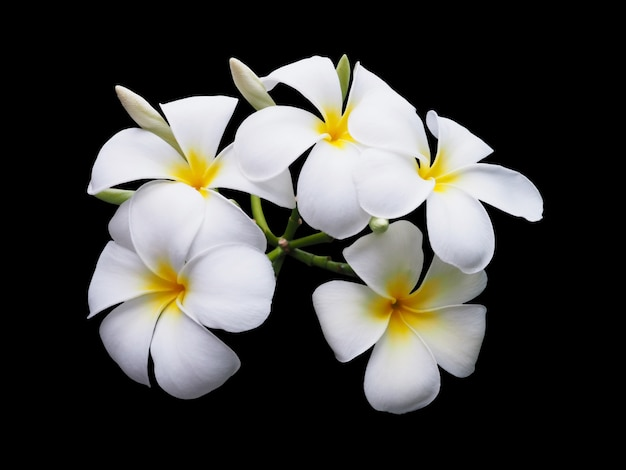 White plumeria flower isolated