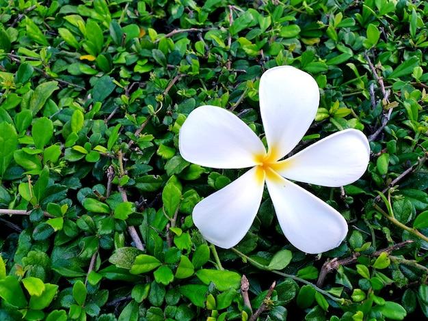 Белый цветок плюмерии на зеленом фоне чая фуцзянь