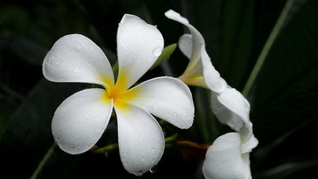 白いプルメリアの花美しい自然の背景。