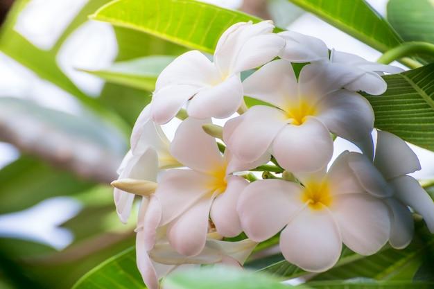 White plumeria flowers beautiful