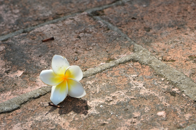White plumeria flowers on the floor