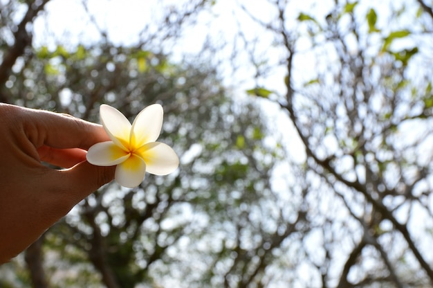 White plumeria flowers on hand