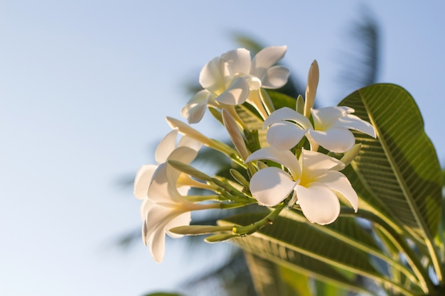 White plumeria flowers with sunlight beautiful, frangipani blur background