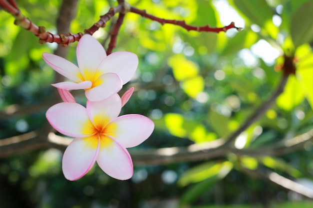White plumeria flowers.